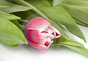Pink Tulip Royalty Free Stock Images - Image: 8594669