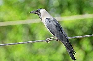 Crow Royalty Free Stock Image - Image: 8594676