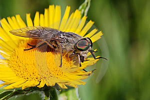 Gadfly On Dandelion Stock Photos - Image: 8594773