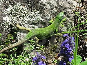 Lizard Stock Photos - Image: 8595083