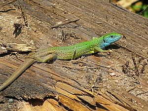 Lizard Royalty Free Stock Images - Image: 8595099