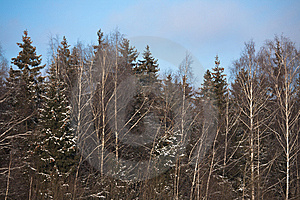 Winter Forest Royalty Free Stock Image - Image: 8595216