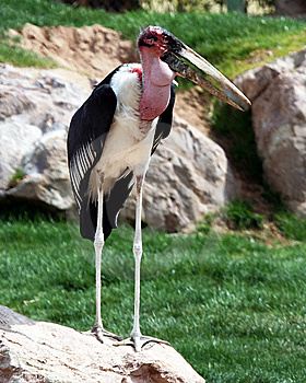 A Marabou Stork Royalty Free Stock Images - Image: 8595589