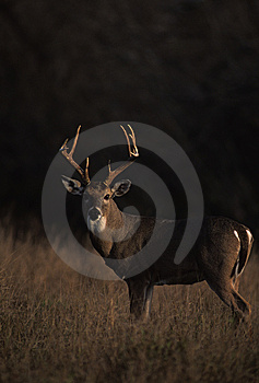Whitetailed Buck Royalty Free Stock Photos - Image: 8595678