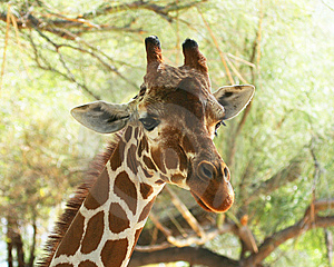A Portrait Of An African Giraffe Royalty Free Stock Photo - Image: 8595735