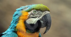 A Blue And Gold South American Macaw Royalty Free Stock Photography - Image: 8595777