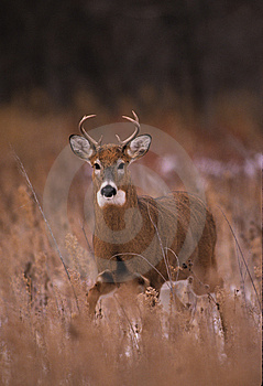 Whitetailed Buck Stock Photos - Image: 8596073