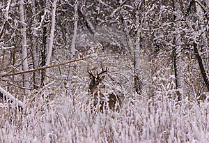 Whitetailed Buck In Snow Stock Photos - Image: 8596123