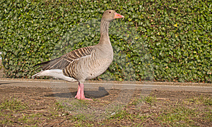 Lone Goose Standing On Grass - Copyspace Royalty Free Stock Images - Image: 8596509