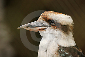 Kookaburra Stock Photography - Image: 8596672