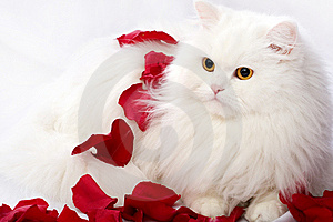 White Thoroughbred Cat Stock Photos - Image: 8598343