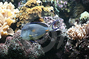 Lined Surgeonfish Royalty Free Stock Images - Image: 8598509
