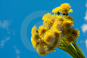 Blossoming Dandelions Royalty Free Stock Image - Image: 8598656