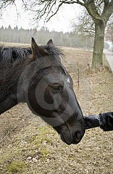 Black Horse Royalty Free Stock Photo - Image: 8598665