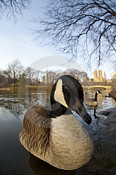 Canadian Geese Stock Photography - Image: 8599572