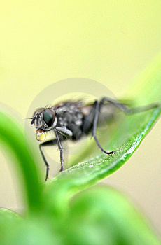 Spitting Fly Macro Royalty Free Stock Photo - Image: 8599945