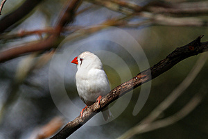 White Bird With Red Beak Stock Images - Image: 866564