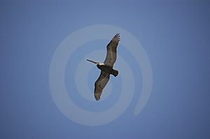 Soaring Pelican Royalty Free Stock Image - Image: 868636