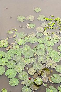 Lotus Pond Royalty Free Stock Images - Image: 8600749