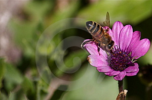 Bee On The Flower Royalty Free Stock Photography - Image: 8601277