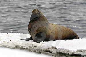 Northern Sea-lion (Eumetopias Jubatus) Stock Photos - Image: 8601673