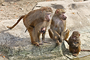 Baboon Family Stock Images - Image: 8602584