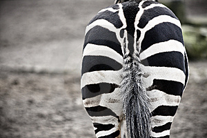 Zebra Royalty Free Stock Photos - Image: 8602768
