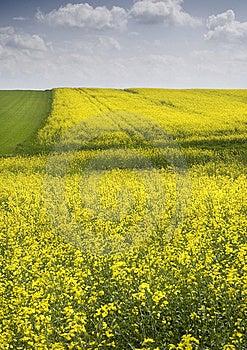 Oilseed Rape Stock Photography - Image: 8603192