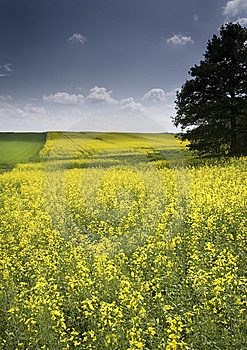 Oilseed Rape Royalty Free Stock Photography - Image: 8603227