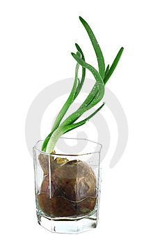 Onion Stock Photo - Image: 8604510