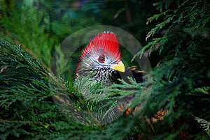 Red Crested Turaco Stock Photos - Image: 8606693