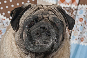 Portrait Of Male Pug Dog Stock Images - Image: 8607894