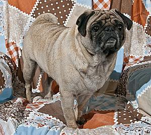 Portrait Of Male Pug Dog Stock Photography - Image: 8607902
