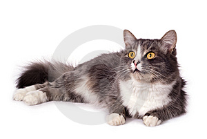 Furry Grey Cat Stock Photos - Image: 8608413