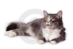 Furry Grey Cat Stock Photos - Image: 8608413