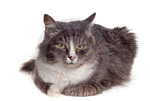 Furry Grey Cat Royalty Free Stock Photography - Image: 8608427