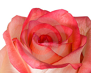 Close-up Pink And White Rose Isolated Stock Image - Image: 8608451