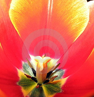Tulip Flower Inside Royalty Free Stock Image - Image: 8608716