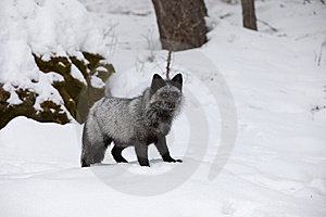 Silver Fox In Snow Royalty Free Stock Image - Image: 8609196