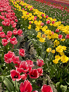 Rows Of Tulips Royalty Free Stock Photography - Image: 8610267