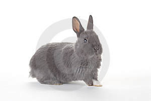 Grey Bunny, Isolated Stock Photo - Image: 8610740
