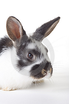 Spotted Bunny Portrait, Isolated Royalty Free Stock Images - Image: 8610819