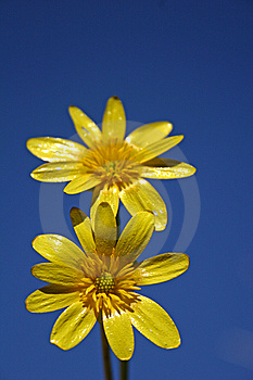 Celandine Royalty Free Stock Images - Image: 8611369