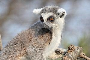 Lémur Catta Photos libres de droits - Image: 8612478