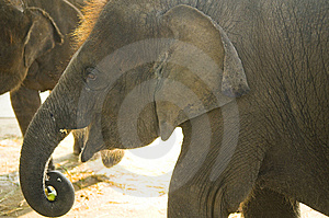 Elephant Stock Photography - Image: 8612892