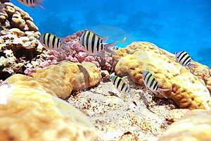Sergente Maggiore Reef Royalty Free Stock Photos - Image: 8613198