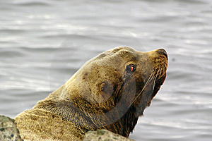 Northern Sea-lion (Eumetopias Jubatus) Stock Photos - Image: 8613803