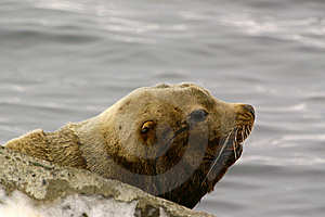 Northern Sea-lion (Eumetopias Jubatus) Stock Photography - Image: 8613952