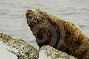 Northern Sea-lion (Eumetopias Jubatus) Stock Photography - Image: 8613992