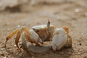 Winking Crab Royalty Free Stock Photo - Image: 8614515
